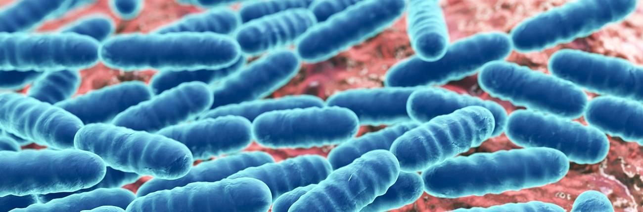 Bakterie mlekowe lactobacillus